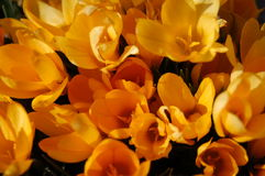 Yellow crocus flowers. Yellow crocus flower patch Royalty Free Stock Photo