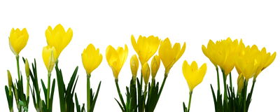 Yellow Crocus flowers. Bright yellow crocus flowers in a line over white background stock image