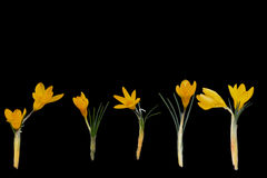 Yellow crocus flowers and black background Royalty Free Stock Photo