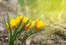 Yellow crocus flowers on a blurred background in the sunlight royalty free stock photography