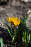 Yellow crocus flowers Stock Photography