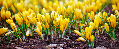 Yellow crocus flowers Royalty Free Stock Photos