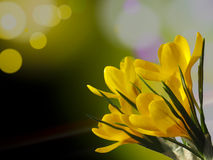 Yellow crocus flowers on green background with free space for text. Spring yellow crocus flowers on green background with free space for text. Selective focus Stock Image