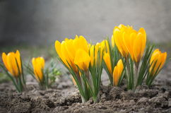 Yellow Crocus Flowers royalty free stock images