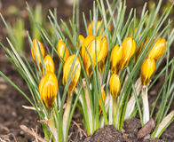 Yellow Crocus Flowers Stock Photo