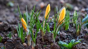 Yellow Crocus Flowers growing in garden with rain drops comming out of soil royalty free stock images