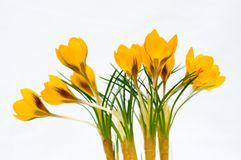 Yellow crocus flowers isolated. With white background Royalty Free Stock Image