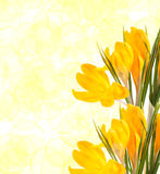 Yellow crocus flowers Stock Photos