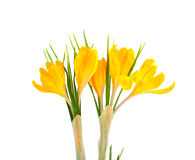 Yellow crocus flowers Royalty Free Stock Image