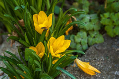 Yellow crocus Stock Photo