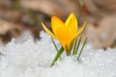 Yellow crocus Royalty Free Stock Image