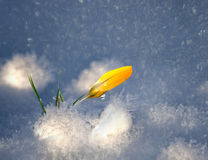 Yellow crocus in snow Royalty Free Stock Images