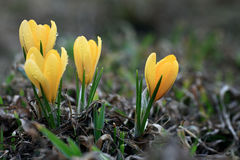 Yellow crocus spring Royalty Free Stock Photos