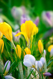 Yellow crocus spring flowers Stock Images