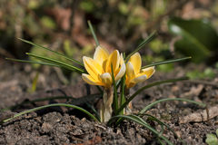 Yellow crocus in the spring Royalty Free Stock Image