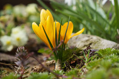 Yellow crocus at spring. Royalty Free Stock Photography