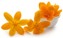 Yellow Crocus. In a bowl over white background Stock Image