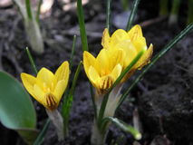 Yellow crocus Royalty Free Stock Photos