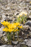 Yellow crocuses. Two groups of yellow crocuses on spring lawn Royalty Free Stock Photography