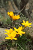 Yellow crocuses Royalty Free Stock Photo
