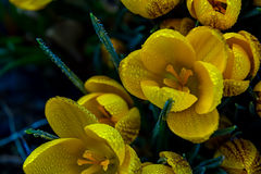 Yellow crocuses that are beautifully blooming stock photos