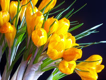 Yellow crocuses on the black background Royalty Free Stock Photo
