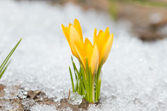 Yellow crocuses. Blossom on the snow Stock Images