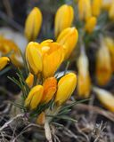 Yellow crocus flowers Stock Images