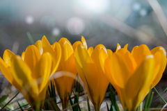 Yellow crocuses Royalty Free Stock Photo