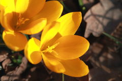 Yellow crocuses on brown background Royalty Free Stock Image