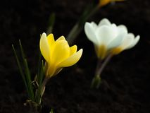 Yellow crocuses on dark blurred abstract background Royalty Free Stock Image