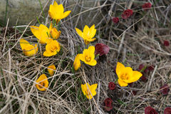 Yellow crocuses Stock Photo