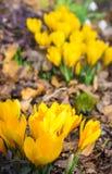 Yellow crocuses Stock Photos