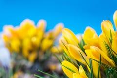 Yellow crocuses Stock Photo