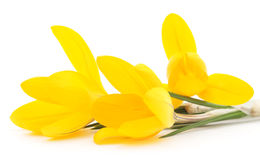 Yellow crocuses. Royalty Free Stock Images