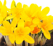 Yellow crocuses. Stock Photography