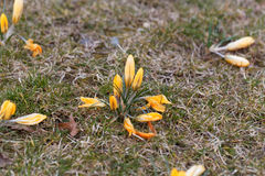 Yellow crocuses on a meadow royalty free stock photography