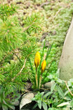 Yellow crocuses and needles Royalty Free Stock Photography