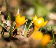 Yellow Crocuses Royalty Free Stock Images