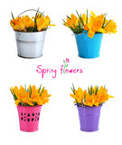 Yellow crocuses in a small bucket Royalty Free Stock Photography