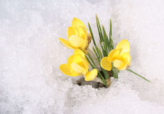 Yellow crocuses on snow Royalty Free Stock Photos