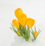 Yellow crocuses in snow Stock Images
