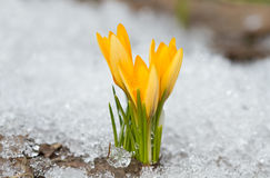 Yellow crocuses. In the snow Royalty Free Stock Images