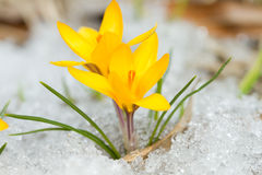 Yellow crocuses Royalty Free Stock Image