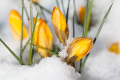 Yellow crocuses in the snow. Bright yellow crocuses sprouting from the snow stock image