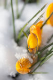 Yellow crocuses in the snow. Bright yellow crocuses sprouting from the snow stock photo
