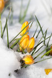 Yellow crocuses in the snow. Bright yellow crocuses sprouting from the snow stock photography