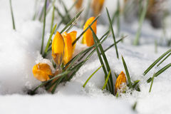 Yellow crocuses in the snow. Bright yellow crocuses sprouting from the snow royalty free stock images