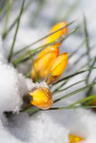 Yellow crocuses in the snow. Bright yellow crocuses sprouting from the snow Royalty Free Stock Photography