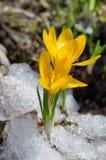 Yellow Crocuses in snow. Spring flowers Crocuses in the garden stock image